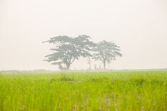 Trees in rice fields Royalty Free Stock Photos