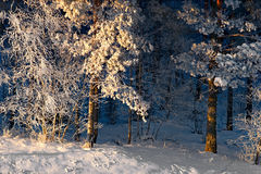 Trees with rime frost Royalty Free Stock Images