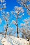 The trees with rime on the hillside Stock Photography