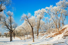 The trees with rime hillside in winter blue sky Royalty Free Stock Photography
