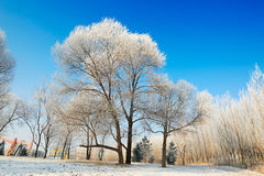 The trees with rime and snow blue sky Stock Image