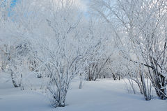 The trees with rime on the snowfield Stock Photography