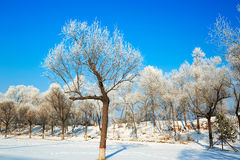 The trees with rime in winter blue sky Royalty Free Stock Images