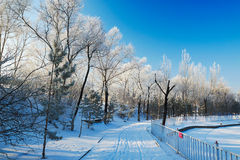 The trees with rime in winter Stock Photo