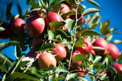 Trees with ripe red apples. In a farms apple orchard Royalty Free Stock Photo