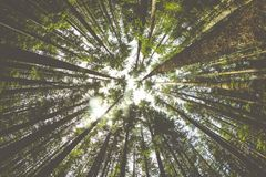 Trees rise in the Pacific Northwest forest Stock Image