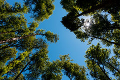 Trees rises at sky. Native forest trees rises at sky in midday with clear colors green and blue Stock Photo