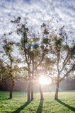 Trees in the rising sun. Mystical forest with sun ray and lens flare at morning Stock Images