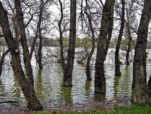 Trees in the river. During floods times Stock Image