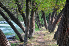 Trees by the river Royalty Free Stock Photo