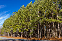 Trees on the Roadside Royalty Free Stock Image