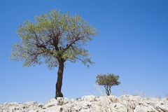Trees on rocks. Two trees grow on rocky hill royalty free stock photography