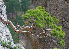 Trees on rocks slope Royalty Free Stock Images
