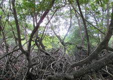 Trees root in swamp forest royalty free stock photography