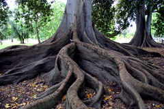 Trees roots. Fig trees roots Stock Photo