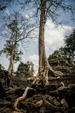 Trees roots growing over Angkor Wat Ruins, Cambodia, Asia. Tradition, Culture and Religion. Royalty Free Stock Photography