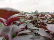 Trees& rosso x28; Amaranth& rosso x29; Immagini Stock