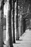 Trees in a row Royalty Free Stock Images