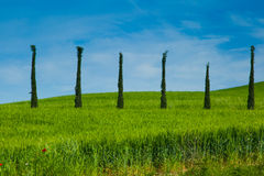 Trees in a row Royalty Free Stock Image
