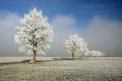 Trees in a row. Frozen trees in a row with blue sky and fog in background Stock Photography