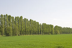 Trees in a row Royalty Free Stock Photo