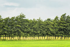 Trees in a row on the field Royalty Free Stock Photography