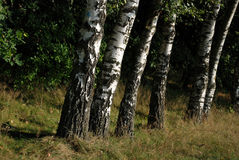 Trees in a row. Stock Image