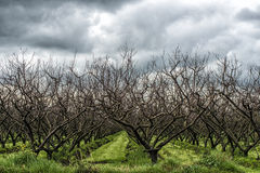 Trees in a row. Under a threatening sky Royalty Free Stock Photo