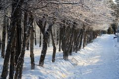 Trees in a Row in winter alley Stock Photography
