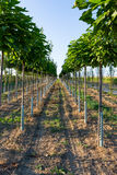 Trees in Rows Farming Depth Perspective Outdoors Stock Photo
