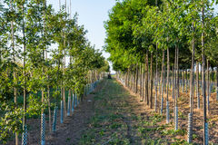 Trees in Rows Farming Depth Perspective Outdoors Tractor Stock Image