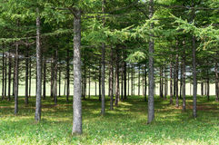 Trees in rows Royalty Free Stock Photo