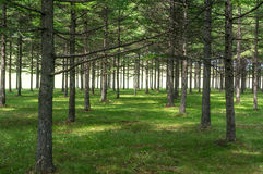 Trees in rows Royalty Free Stock Photos
