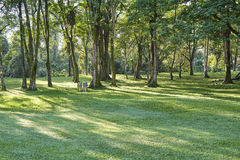 Trees in rows in the park Stock Photography