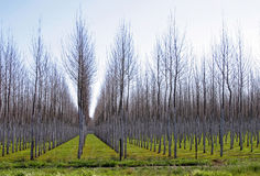 Trees in rows, winter Royalty Free Stock Photography