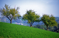 Trees in rural landscape. Three trees on sloping hillside in rural landscape stock photography