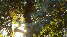 Trees rustle with leaves on wind. Trees rustle with green leaves on strong wind stock video footage