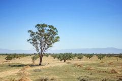 Trees in Sahara Royalty Free Stock Photos