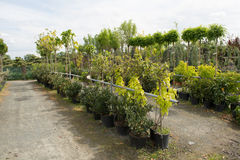 Trees for sale in a row, in pots. Labeling machine for sale, farmers' markets, selling plants Royalty Free Stock Photos