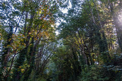 Trees At Saltwater. Looking up at trees at Saltwater State Park in Washington State royalty free stock photos