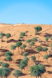 Trees on a Sand Dune with camel tracks royalty free stock photography