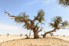 Trees among sand dunes in Rub al-Khali desert (Oman) Stock Photo