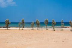 Trees on sandy sea shore. Line of young trees on sandy sea shore Royalty Free Stock Photos