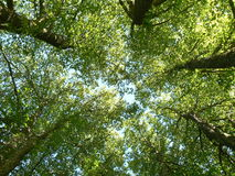 Trees seen from below. In summer stock photos