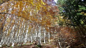 Trees seen from below in the Park of Foreste Casentinesi in Tuscany, Italy. Autumn in the Foreste Casentinesi National Park in Italy stock footage