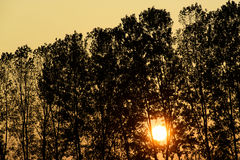 Trees in silhouette at sunset. Silhouette trees in front of the sun very low at sunset in a yellow and orange light, the golden hour Royalty Free Stock Photo