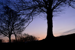 Trees in Silhouette at Twilight. Bare trees stands in silhouette against the backdrop of a winter sunset Stock Image