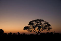 Trees silhouetted at sunrise. A view of trees and bushes silhouetted in the pre-dawn light of an African sunrise Royalty Free Stock Photos