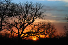 Trees silhouetted at sunset. Scenic view of orange sunset with silhouette bare branched, trees in foreground Royalty Free Stock Photography