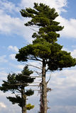 Trees and Sky. Tall trees and blue sky with cloud Stock Image